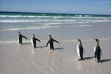 King Penguin (Aptenodytes patagonicus) commuters on landing beach near nesting colony, Volunteer Point, Falkland Islands  -  Tui De Roy