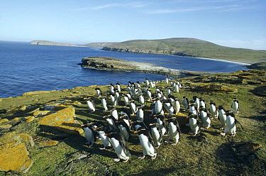 Rockhopper Penguin (Eudyptes chrysocome) commuting flock returning to rookery, New Island, Falkland Islands  -  Tui De Roy