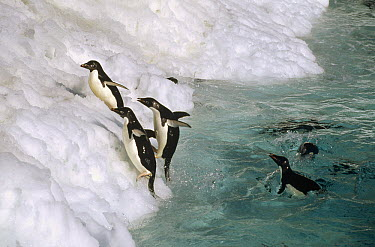 Adelie Penguin (Pygoscelis adeliae) group leaping ashore onto ice ledge, Foyn Island, Possession Islands, Ross Sea, Antarctica  -  Tui De Roy