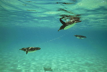 Galapagos Penguin (Spheniscus mendiculus) flock swimming underwater feeding foray, Bartolome Island, Galapagos Islands, Ecuador  -  Tui De Roy