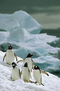 Gentoo Penguin (Pygoscelis papua) commuting flock climbing snowy slope, Couverville Island, Antarctica  -  Tui De Roy