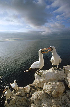 Masked Booby (Sula dactylatra) courting pairs roosting on cliff edge, Wenman Island, Galapagos Islands, Ecuador  -  Tui De Roy