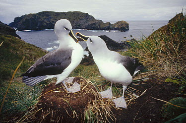 Grey-headed Albatross (Thalassarche chrysostoma) courting couple at nest in tussock grass, Diego Ramirez Island, Chile  -  Tui De Roy