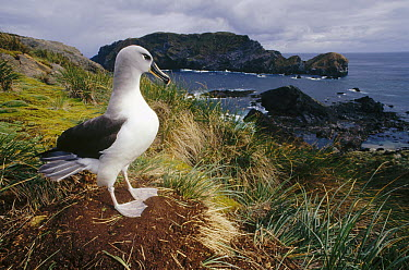 Grey-headed Albatross (Thalassarche chrysostoma) at nest in tussock grass, Diego Ramirez Island, Chile  -  Tui De Roy