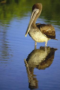 Brown Pelican (Pelecanus occidentalis) juvenile, Academy Bay, Santa Cruz Island, Galapagos Islands, Ecuador  -  Tui De Roy