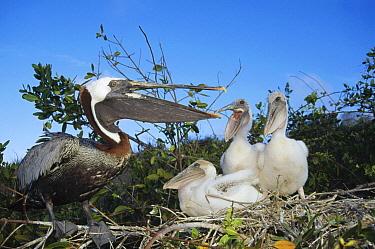 Brown Pelican (Pelecanus occidentalis) three chicks begging for food from freshly returned parent, Academy Bay, Santa Cruz Island, Galapagos Islands, Ecuador  -  Tui De Roy