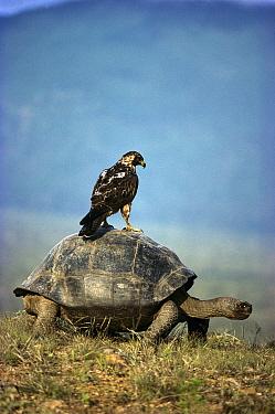 Volcan Alcedo Giant Tortoise (Chelonoidis nigra vandenburghi) Galapagos Hawk (Buteo galapagoensis) riding on back, Alcedo Volcano, Isabella Island, Galapagos Islands, Ecuador  -  Tui De Roy