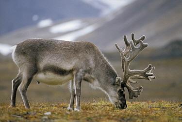 Svalbard Reindeer (Rangifer tarandus platyrhynchus) bull in velvet grazing on summer tundra, Ny-Alesund, Spitsbergen Island, Svalbard Archipelago, Norwegian Arctic  -  Tui De Roy