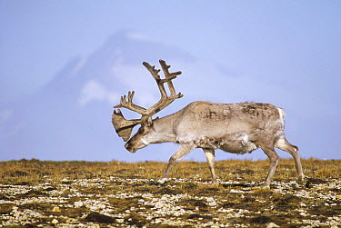 Svalbard Reindeer (Rangifer tarandus platyrhynchus) bull in velvet and summer molt, Ny-Alesund, Spitsbergen Island, Svalbard Archipelago, Norwegian Arctic  -  Tui De Roy