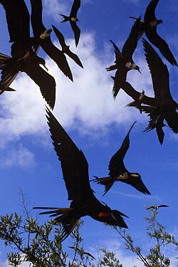 Magnificent Frigatebird (Fregata magnificens) flock swooping low to scavenge fish scraps, Academy Bay, Santa Cruz Island, Galapagos Islands, Ecuador  -  Tui De Roy