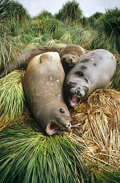 Southern Elephant Seal (Mirounga leonina) juveniles lounging in tussock grass, Sea Lion Island, Falkland Islands  -  Tui De Roy