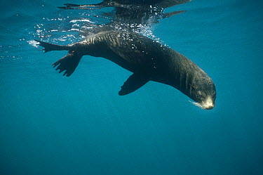 Galapagos Fur Seal (Arctocephalus galapagoensis) underwater, bull resting at surface to keep cool, Cousin's Island, Galapagos Islands, Ecuador  -  Tui De Roy
