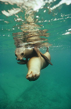 California Sea Lion (Zalophus californianus) two juveniles playing underwater, La Isoltes, Sea of Cortez, Baja California, Mexico  -  Tui De Roy