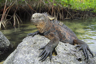 Marine Iguana (Amblyrhynchus cristatus) mature male clings to lava rock along shoreline, Academy Bay, Santa Cruz Island, Galapagos Islands, Ecuador  -  Tui De Roy