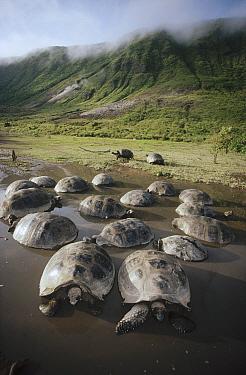 Galapagos Giant Tortoise (Chelonoidis nigra) wallowing in seasonal pool, Alcedo Volcano, Isabella Island, Galapagos Islands, Ecuador  -  Tui De Roy
