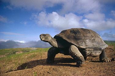 Volcan Alcedo Giant Tortoise (Chelonoidis vandenburghi) on caldera rim, Alcedo Volcano, Isabella Island, Galapagos Islands, Ecuador  -  Tui De Roy