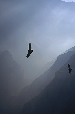 Andean Condor (Vultur gryphus) the world's heaviest flying bird, male, riding thermal updraft over 3,400 meter deep Colca Canyon, Peru  -  Tui De Roy