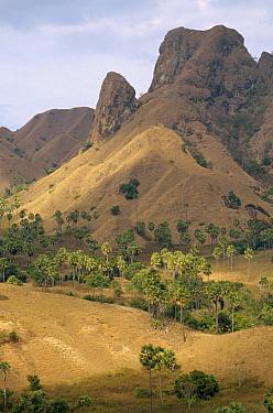 Lontar Palm (Borassus flabellifer) trees in savannah and monsoon forest, Komodo National Park, Komodo Island, Indonesia  -  Tui De Roy