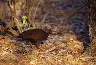 Scrubfowl (Megapodius sp) scratching in leaf litter on dry monsoon forest floor, Komodo Island, Indonesia  -  Tui De Roy
