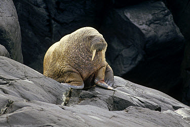 Atlantic Walrus (Odobenus rosmarus rosmarus) male hauled out on rocky shore, Marble Island, Hudson Bay, Canada  -  Tui De Roy