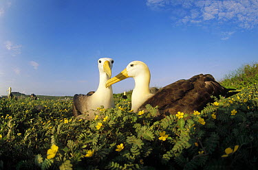 Waved Albatross (Phoebastria irrorata) pair bonding in flowering tribulus field during rains, Punta Cevallos, Espanola Island, Galapagos Islands, Ecuador  -  Tui De Roy