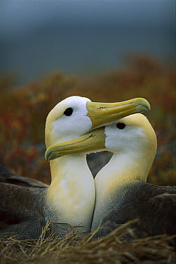 Waved Albatross (Phoebastria irrorata) pair bonding, Punta Cevallos, Espanola Island, Galapagos Islands, Ecuador  -  Tui De Roy