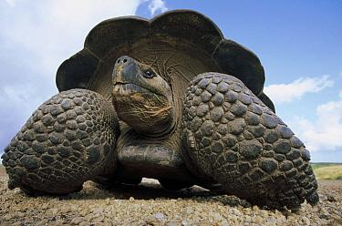 Galapagos Giant Tortoise (Chelonoidis nigra) large male on caldera rim, Alcedo Volcano, Isabella Island, Galapagos Islands, Ecuador  -  Tui De Roy