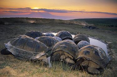 Galapagos Giant Tortoise (Chelonoidis nigra) large males vie for space in coveted rainy season wallows, caldera rim, Alcedo Volcano, Isabella Island, Galapagos Islands, Ecuador  -  Tui De Roy
