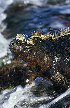 Marine Iguana (Amblyrhynchus cristatus) grazing seaweed in wave wash at low tide, Punta Espinosa, Fernandina Island, Galapagos Islands, Ecuador  -  Tui De Roy