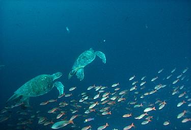 Green Sea Turtle (Chelonia mydas) pair underwater, swimming with school of Creole fish, Wenman Island, Galapagos Islands, Ecuador  -  Tui De Roy