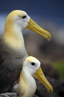 Waved Albatross (Phoebastria irrorata) mating, Punta Cevallos, Espanola Island, Galapagos Islands, Ecuador  -  Tui De Roy