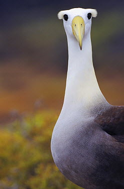 Waved Albatross (Phoebastria irrorata) adult in nesting colony, Punta Cevallos, Espanola Island, Galapagos Islands, Ecuador  -  Tui De Roy
