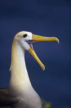 Waved Albatross (Phoebastria irrorata) courtship display, Punta Cevallos, Espanola Island, Galapagos Islands, Ecuador  -  Tui De Roy