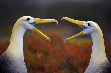 Waved Albatross (Phoebastria irrorata) courtship display sequence, Punta Cevallos, Espanola Island, Galapagos Islands, Ecuador  -  Tui De Roy