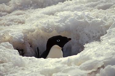 Adelie Penguin (Pygoscelis adeliae) incubating adult snowed in on nest, Petermann Island, Antarctica  -  Tui De Roy