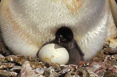 Adelie Penguin (Pygoscelis adeliae) newly hatched chick, second egg pipping, Peterson Island, Wilkes Land, East Antarctica  -  Tui De Roy