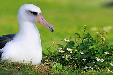 Laysan Albatross (Phoebastria immutabilis) adult nesting among introduced weeds, Midway Atoll, Hawaii  -  Tui De Roy