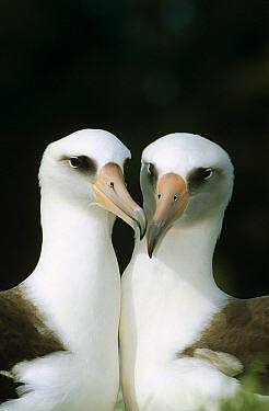 Laysan Albatross (Phoebastria immutabilis) pair bonding, Midway Atoll, Hawaii  -  Tui De Roy