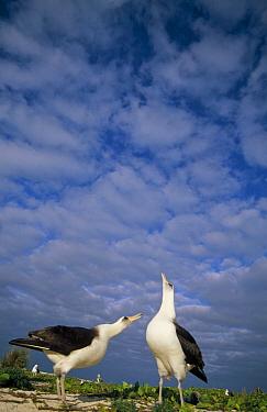 Laysan Albatross (Phoebastria immutabilis) courtship dance, Midway Atoll, Hawaiian Leeward Islands, Hawaii  -  Tui De Roy