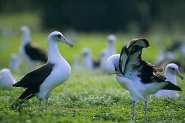 Laysan Albatross (Phoebastria immutabilis) courtship dance sequence, Midway Atoll, Hawaiian Leeward Islands, Hawaii  -  Tui De Roy
