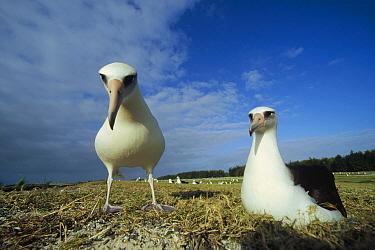 Laysan Albatross (Phoebastria immutabilis) non-breeding adult pair at colony periphery, Midway Atoll, Hawaii  -  Tui De Roy