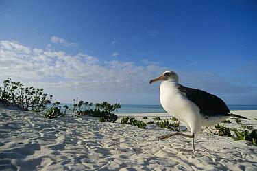 Laysan Albatross (Phoebastria immutabilis) non-breeding adult at colony periphery, Midway Atoll, Hawaii  -  Tui De Roy