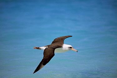 Laysan Albatross (Phoebastria immutabilis) navigating across ocean from North Pacific feeding grounds to breeding colony, Midway Atoll, Hawaii  -  Tui De Roy