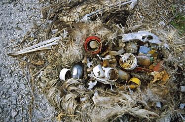 Laysan Albatross (Phoebastria immutabilis) mortality from plastic debris ingested at sea, Midway Atoll, Hawaii  -  Tui De Roy