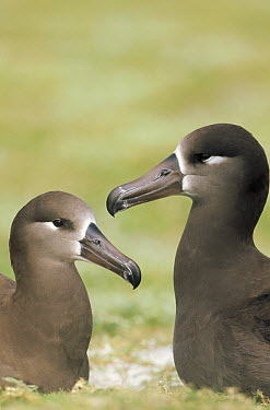 Black-footed Albatross (Phoebastria nigripes) pair bonding, Midway Atoll, Hawaii  -  Tui De Roy
