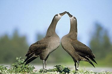 Black-footed Albatross (Phoebastria nigripes) courtship dance, Midway Atoll, Hawaii  -  Tui De Roy