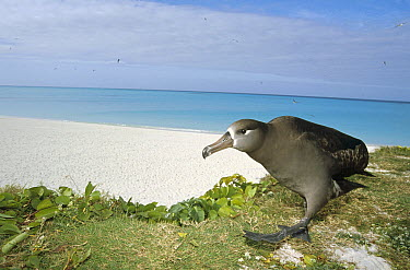 Black-footed Albatross (Phoebastria nigripes) walking with typical hunched gait, Midway Atoll, Hawaii  -  Tui De Roy