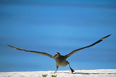 Black-footed Albatross (Phoebastria nigripes) taking off from beach, Midway Atoll, Hawaii  -  Tui De Roy