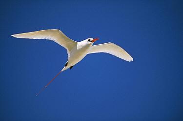 Red-tailed Tropicbird (Phaethon rubricauda) flying, Midway Atoll, Hawaii  -  Tui De Roy