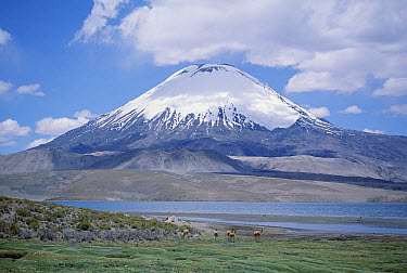 Lake Chungara and Parincota Volcano with Vicuna herd, Lauca National Park, Chile  -  Tui De Roy